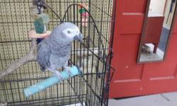 African gray tame talks with cage great bird 1300.00 firm roseburg oregon 5414301982