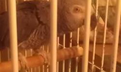 Nicko is a 6 year old African Grey looking for a great home. He does talk and imitate sounds. Needs a patient owner to bring out his true personality. Comes with cage and accessories.