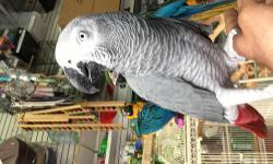 Hi i have beautifull african grey, tame and sweet 1.8 years old, for more info please call or text me at 646-543-6296 thanks