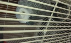 12yrs old female african grey. not tame. talks and pefect feather. asking $800 or best offer more info email me and leave your number.