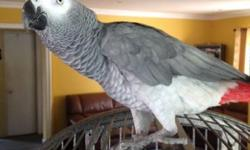 6 yr old African grey Congo. Talks a lot and Dances. Not hand tame feathers and nails in perfect shape. I think it's a male This ad was posted with the eBay Classifieds mobile app.