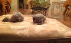 Hand raised, tame and lovable African grey babies