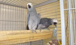 African grey has hatched 2 babies and one has been sold. I am handfeeding them now. The baby was hatched on July, 13th The babies will be sold @ 3 weeks old. I am taking deposit half and I will wean the baby for you. $900 before weaned. $1600 for after