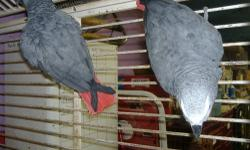 Bonded bonded pair of African Grey parrots. Both are DNA sexed. 6 years old.Come with extra large cage. Cage size is 3ft X 5ft X 7ft. Call 304-457-6158 or 304-669-3144 and ask for Wilma.