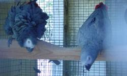 9 pairs of African Grey Breeders. $2000 1 single African Grey breeder bird. $950 Most of my birds are of the large and light colored type. Cages/nest box available for $250 each. Serious inquiry only please...