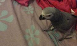 African grey congo female $800