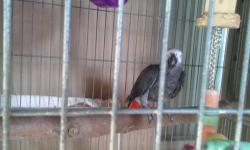 I have a 3 year old African Grey parrot for sale. He is extremely friendly and quite a talker. Great companion. He has a large aluminum cage and a large pedestal stand. Please contact me with any questions about him.