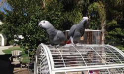 6 month African grey babies, hand raised, friendly and ready for a pet home. Healthy and fully feathered