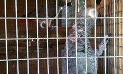 AFRICAN GREY PAIR BOTH MALE AND FEMALE RED FACTOR!! FEMALE IS A PLUCKED IN THE CHEST, ALL HER CHEST IS RED!! THE PAIR IS YOUNG MALE IS 10 YEARS OLD AND FEMALE 12 YEARS OLD. FOR MORE INFO CALL/TEXT/EMAIL 786 382 5949 THANKS