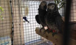 proven african grey pair