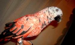 Solid Red African Very Rare Red Factor Mutation Gene, African Grey Tinneh young tame adult for sale, She Talks quite a bit too, is a Pet now but can be a Breeder if paired up with a male she will produce solid Red Babies if bred to the right male, Shes