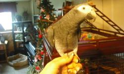 I am selling my African Grey Timneh (Ernie) 3 yrs. old. He was hand raised and is a awesome bird. No bad habits, very healthy, talks a little. He is use to a female care giver. I am the only one around Ernie so I have no idea how he would be with