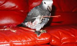 This proven pair of African Grey Timnehs is available for sale. They are a productive pair. Pictures of their babies from the past are also included. Contact me at 210/410-1507 for more information.
