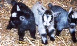 African Pygmy Goats ? Largest Selection Available Anywhere Worldwide Shipping Whether you want a single pet or a whole herd we can help you find the perfect pygmy goat(s). Amber Waves has been in business for over 32 years, and we not only help you