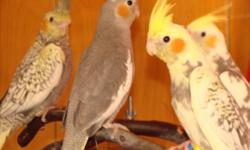 Hi I'm rehoming male albino cockatiel 2 years old tame This ad was posted with the eBay Classifieds mobile app.