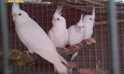 Young adult albino cockatiels ready for rehome. Call or text to check availability.