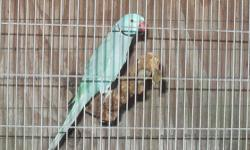 Hi, I'm looking for a single white or albino Indian Ringneck Parakeet as a pet - not to breed, therefore the younger the better to tame. Please let me know if you have any and send a photo and the re-homing fee you're asking. Will consider any reasonable