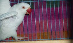 Healthy albino female, good price, ready to breed. Earlier this year she laid eggs but male flew away from our cage. Needs a good home, and a mate. Contact by phone preferred: (562) 290-7964