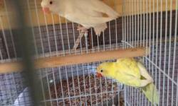Albino Fisher loverbirds, young and healthy. available in black eye for 120 ea and red eye for 150 ea. also other mutations available along with splits.(albino black eye sold) proven Breeding pair of maui lovebirds, they produce beautiful sable babies,
