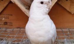 Albino split rs cockatiel for sale or trade let me know what you have call or text 3102939095 no email please.. albino split recessive silver cockatiel de venta o canbio por otros pájaros buen tamaño y bien en plumada y es mansita porque la crié a mano