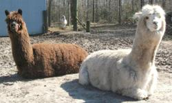 Alpacas for Sale. I have 2 Both neutered males 3-year olds Have been in Petting Zoo. 1 is white and 1 is brown. $250.00 each or both for $400.00