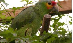 Amazon - Friar Tuck - Medium - Young - Bird Friar Tuck is a Amazon Parrot. He is green and red and we think he is beautiful despite his obvious hard times. He came to us a mess. His wing was broken and, well, something bad happened to his head. We are