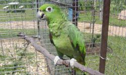 Amazon - Hedwig - Medium - Adult - Male - Bird Hedwig is a 26 year old male yellow nape amazon. CHARACTERISTICS: Breed: Amazon Size: Medium Petfinder ID: 22851400 CONTACT: Black Hills Parrot Welfare & Education Center | Belle Fourche, SD | 605-892-2336