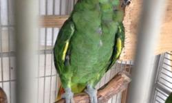 I have a 11/ 2 year old Amazon lilac crown he talks and is tamed nice bird with nice cage 500 for it all . Call Rey 9544453311
