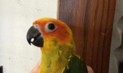 hand fed tame baby age 9 mths dna papers sealed banded with hatch year no cage asking $700