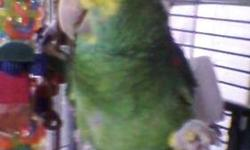 Double Yellow Head Amazon Parrot. 19 years old. One owner from 5 mo. of age. Talks a lot, entertaining and energetic personality. Comes with cage, perches, toys, food. Serious inquiries only.