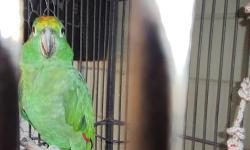 I have a amazon parrot male 7 years old he is a doub yellow head, I want to trade for a female yorkie don't care about the age, can be older, have a 9 month old needs a playmate. and I have 3 parrot to much for me. thanks. Bea 408-807-4435