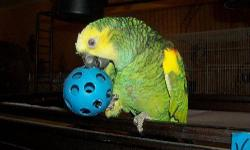 Amazon - Sisco - Medium - Young - Bird Yellow-naped Amazon a member of the large parrot family. These birds are colorful, noisy, intelligent and talkative. With the longest life span among pet birds, these guys can live 50-100 years. Sisco is 20 years old
