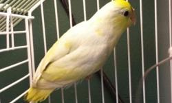 this is an American yellow parrotlet hatched October. 2013