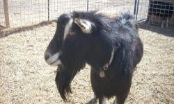 """For Sale: ADGA Registered Breed: American Alpine Name: Cold-Spring Larson Nicodemus We call him """"Nick."""" Sire: Harmody R Bria's David Larson Dam: Cold-Spring Larson's Razzie. Birthdate: 3/5/2011. Horn Information: disbudded Color: Sundgau Comments: He is"""