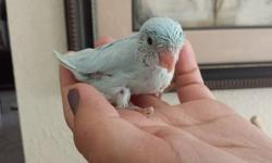 I have one american white male parrotlet baby. He is still being hand fed and will not be ready for about two weeks. He is pet quality and tame. If you are interested you can call or txt me at 910 264 3312 or email me. Thank you