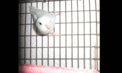 Distinct pastel light blue with a radiant cobalt in his wings and on his back. This is a proven 2011 adult male parrotlet. He is not a tame bird. In good feather and healthy. 125.00 (firm)
