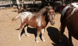 FREE DELIVERY IN ARIZONA ONLY..AT FULL PRICE THIS WEEKEND ONLY HE WILL NOT BE READY UNTIL MARCH Will I's Appsolute Perfektion ..aka Jazz ! Beautiful Silver Dapple Colt foaled Sept 15, 2013 will be ready in March no sooner. AMHA pending now will be AMHA