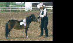 ~Whipporwills Barbie Doll~ Jones Amos x Hobby Horse Holly Sue Aka *Barbie* 31.50 - AMHA#A115317 & AMHR #206389A- 2000~ 12 yr old, DNAd Grulla Pinto Mare. Barbie has been sucessfully shown in halter and Multi-Color with her receiving Reserve Champion. She