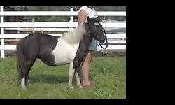 """Aka *Sugar* 31"""" - AMHR #265180T - 2003 This 12 yr old Black/White Pinto Mare ~Windy Valley's Dancin Sugar Delight~ Sugar has produced some very nice foals for me every time!!!! Her foaling date was April 27,2003 at 8:45 pm. Her dam is lles Lizzie Lou 36"""""""