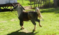 AMHR Blue Roan Pinto Filly, 2 years old, dishy head and nice long legs. Will make a awesome show mare or train to pull cart. She is beautiful! Willing to trade but not for horses..Let me know what you want to trade.. OR $1500 cash