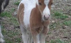 """Miniature Sorrel Pinto Colt will be ready for his new home middle of July. D.O.B April 03, 2013 Will mature under 32"""" $650 with AMHR papers but can sell him without papers for $450. Great bloodlines, falabella lines (Chianti). Sire and Dam both pintos. A"""