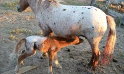 AMHR appy mare miniature horse, bred back for summer 2013 for $600 Lacey Britches (pictured with 2012 colt). Probably bred back to the same stallion that fathered this snowcap colt!! A great mini horse! Her coming 2 filly AMHR registered, $400 NuJoy
