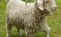 Angora Bucks for sale in Monroe, WA Yearlings and selectively bred and ready to improve your genetics this fall. CAE, CL and Johnes free herd. Breeding quality goats for over 20 years. Emergency sale! One AAGBA white Buck bred for champion fleeces and