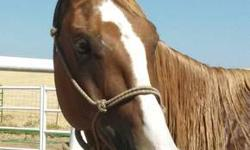 Been ranch on tons Walks.trot.canter.goes any where you point him. Very gentle. Anyone can ride him. Goes threw water over logs. Awesome trail horse. Goes out with other horses or by him self. He has gather tons of cattle n been in the branding pen. He