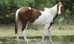 WHATA PEPPY NIVLA APHA Chestnut Tobiano Filly Check out here pedigree here http://www.allbreedpedigree.com/whata+peppy+nivla Sire Homozygous Chestnut Tobiano Stallion Dam DARK Golden Palomino AQHA Mare Great filly. Easy to catch, lead, tie, stands for