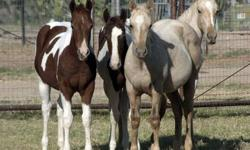'Nivla' APHA Dark Chestnut Tobiano Filly - She is on the left in the picture Born 04/09/2012 Sire - MR PREMENITIONS TRAMP Dam - WHATA PEPPY GOLDIE She is a great prospect for halter, or all around ranch prospect! Pleasure or Performance, She is a looker,