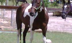I have a 6 year old gelding that is 15 hands, he is really sweet,willing to please and all around good horse. I have had him since he was 4 months old so I did most his training, then sent him to be finished for 30 days.. He is young and spunky so he