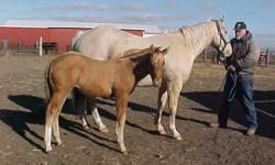 Goldie is open for 2015, halter broke, UTD on shots, deworming & has a sweet filly at side. She is well socialized, born the end of August. Both are APHA BS registered. Can buy both at $2000 or individual. Penny $1700 and Jill at $500 weaned Jan. 3rd