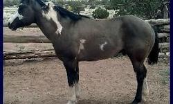 Good disposition has been started he is green broke & has good bloodlines. His sire is a grullo and dam is a black overo. He is well built & muscled and he should throw color! He is currently in AZ. Please email me for more info & pictures! OPEN to