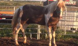 Apha chocolate palomino stallion. Very flashy. Homozygous tested. Will throw color. Up to date on shots and negative coggins. Leads, loads, bathes, clips. Stands for farrier. Had feet done recently. Asking $2000. Cash. No trades must pick up.